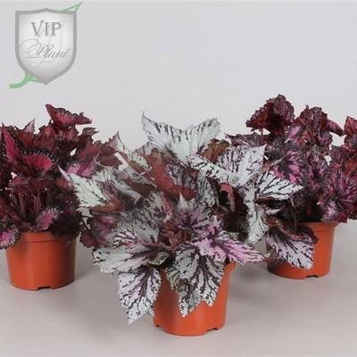 Begonia blad