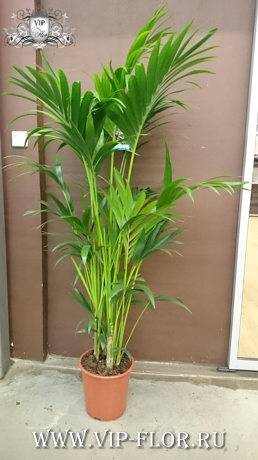 Фото больших комнатных цветов пальмы